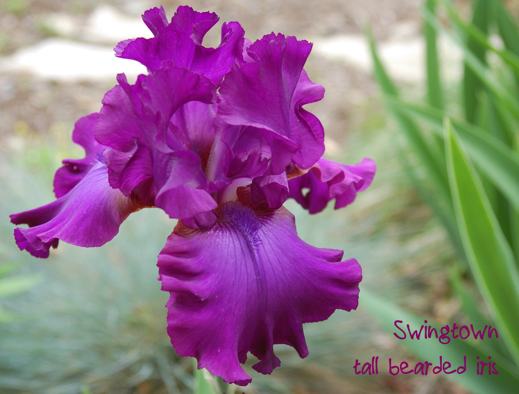 Swingtown bearded iris